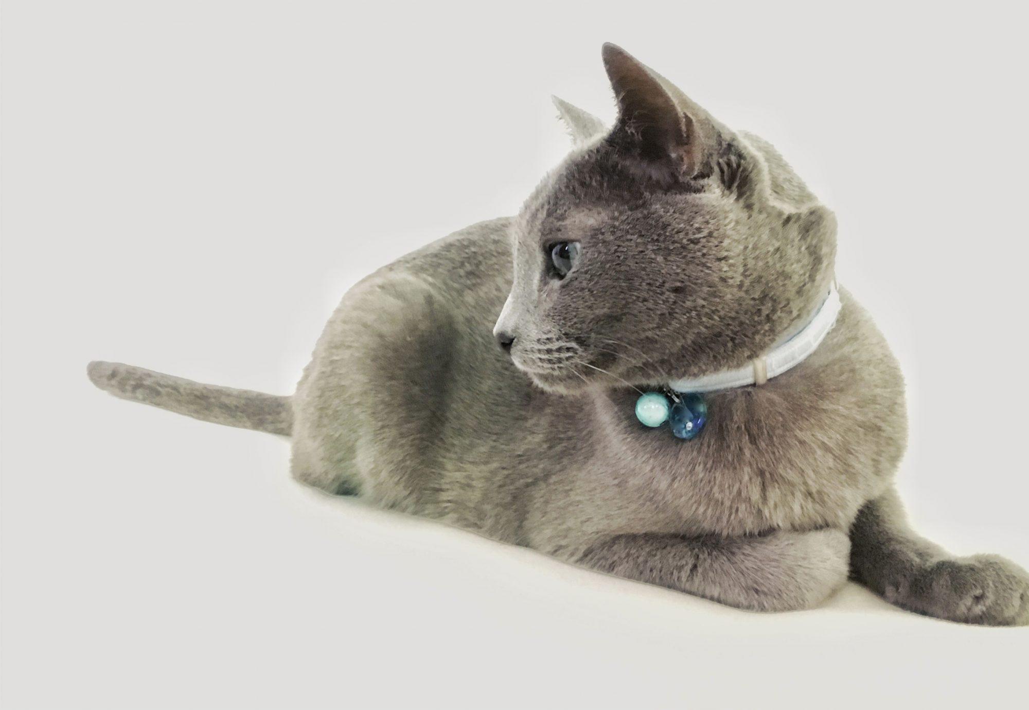 ロシアンブルーブリーダー|Cattery Komachi